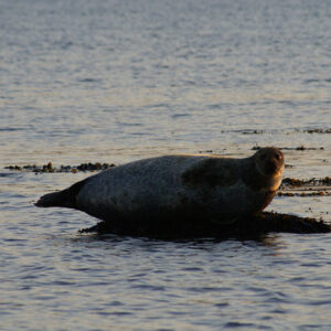 A Seal at Low Tide